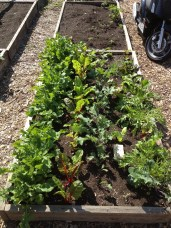 First garden greens come up in fall...