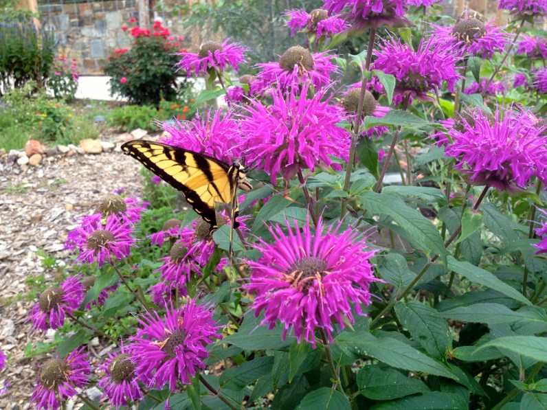 Eastern Tiger Swallowtail on bee balm plant