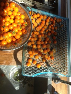 Drying sun gold tomatos