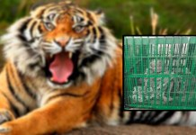 Telugu News old women spend all night in cage which implemented for tiger
