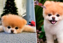 Telugu News 'The World's Cutest Dog' - Boo the Pomeranian, who had 17 MILLION social media followers, dies of a 'broken heart' aged 12, one year after his best friend Buddy