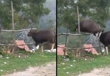 Telugu News buffaloes High jump in the forests