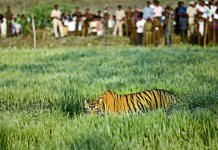 Telugu News tigers are entering into villages .