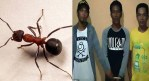 Telugu news Ants save 16-year-old from being raped when insects started biting her would-be attacker in Indonesia