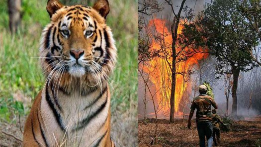 Wildfire destroys bandipur tiger reserve fire department trying to smash it
