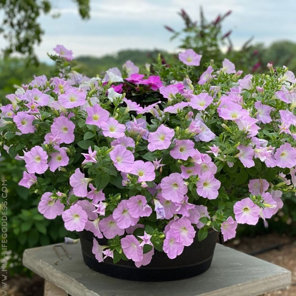 Petunia Bucket