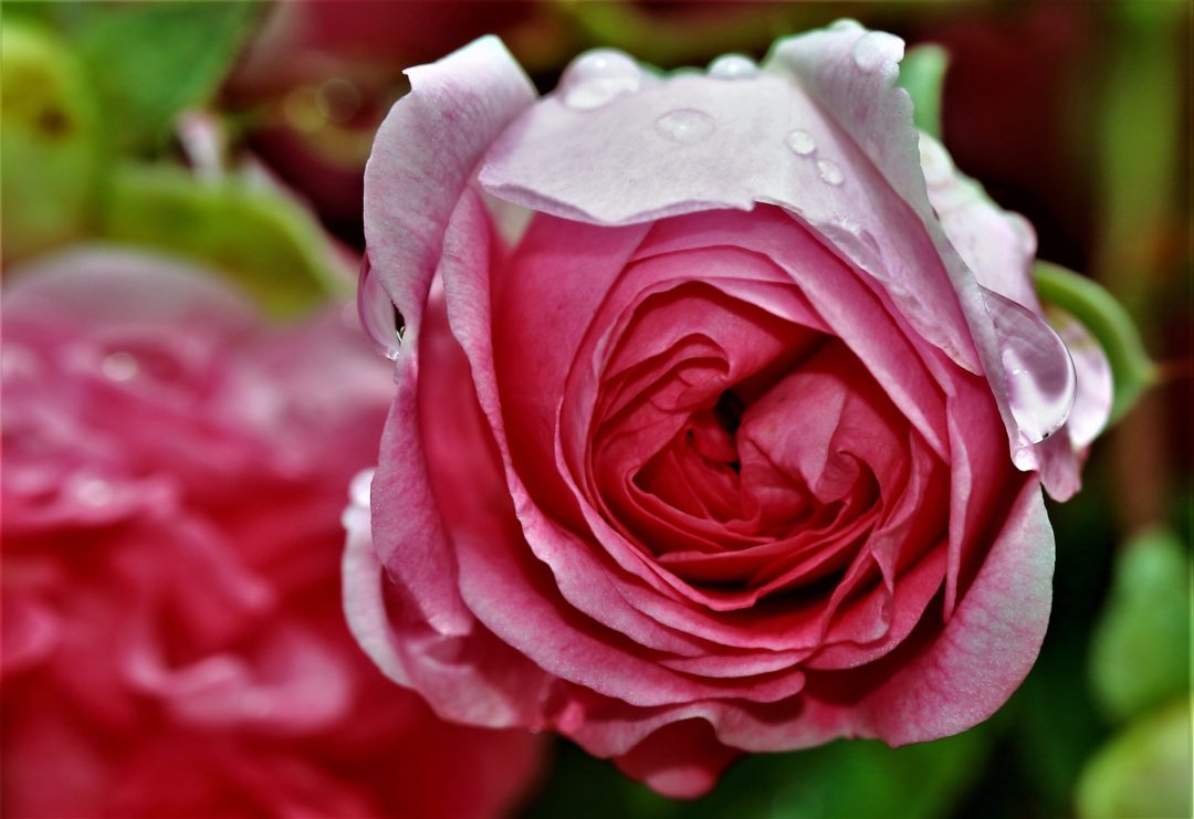 TThe Language of Colour. Ludwig's Roses 48th Spring Rose Festival
