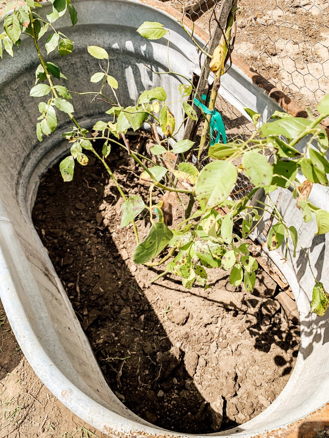 How to Plant Roses Beside a Chicken Run