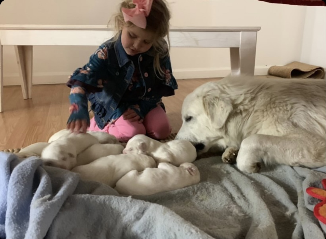 Why We Chose a Great Pyrenees LGD
