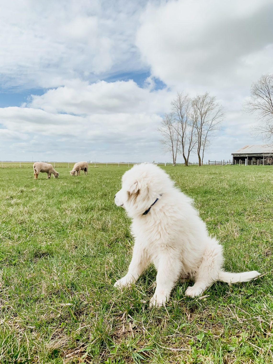 Henry Our Livestock Guardian Dog