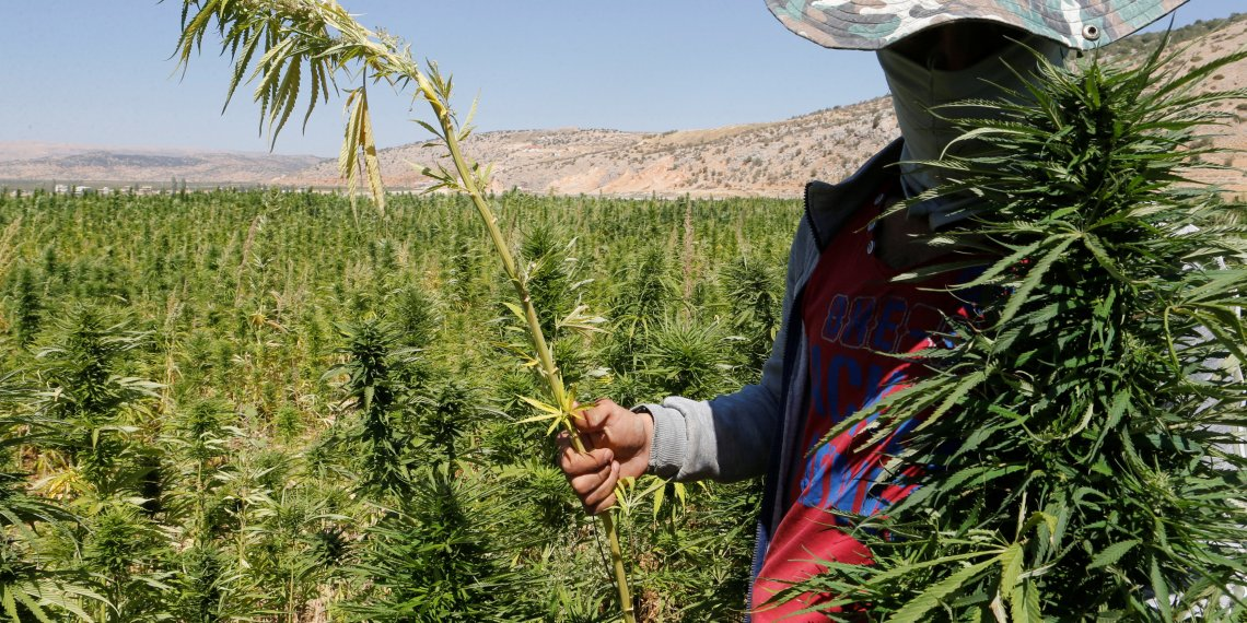 A farmer holds a green of cannabis plants in a field overlooking a lake in Yammouneh in West of Baalbek, Lebanon August 13, 2018. Picture taken August 13, 2018. REUTERS/Mohamed Azakir