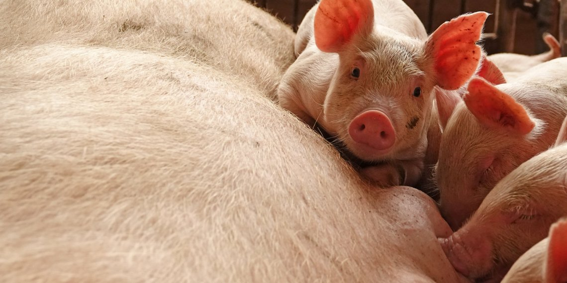 FILE PHOTO: Piglets are seen by a sow at a pig farm in Zhoukou, Henan province, China June 3, 2018. Picture taken June 3, 2018. REUTERS/Stringer