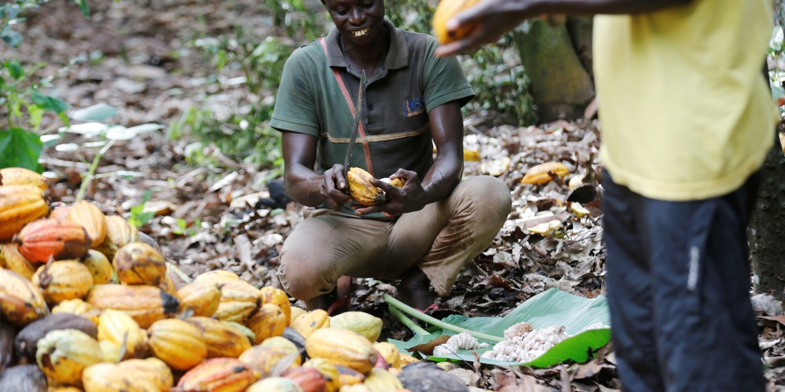 A farmer opens a cocoa pod at a farm in Toumodi, Ivory Coast October 13, 2018.  REUTERS/Thierry Gouegnon