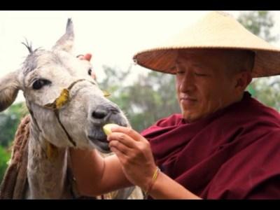 Dzongsar Khyentse Rinpoche feeding a donkey.