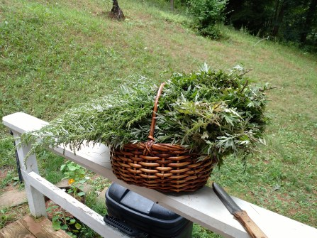 Aug 2015 - mugwort harvest