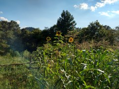 Aug 2015 - sunflowers and corn