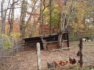 Oct 2015 - fall color chicken yard