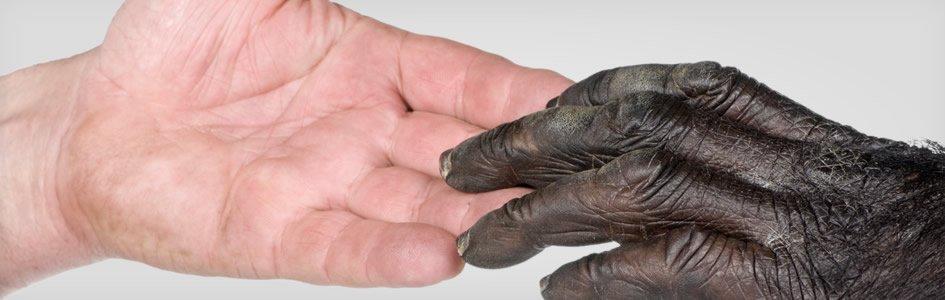 Diferencias entre el ADN chimpancé y humano recalculadas