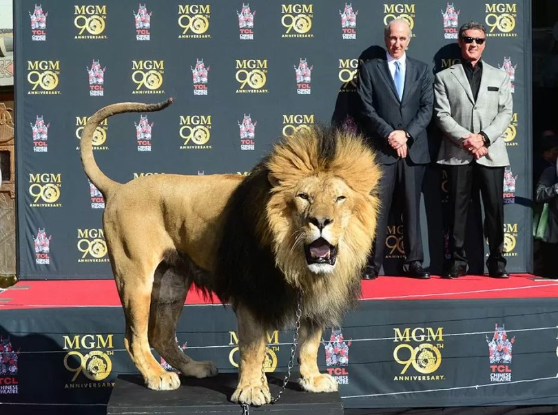 Film star Sylvester Stallone (rear/R) and MGM Chairman and CEO Gary Barber watch from the stage as Leo the Lion reacts to the cameras during a paw print ceremony at the TCL Chinese Theater celebrating the Metro-Goldwyn-Mayer studio's 90th anniversary on January 22, 2014 in Hollywood, California. AFP PHOTO/Frederic J. BROWN