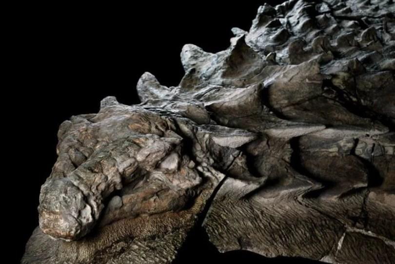 dinosaur nodosaur fossil discovery 2 - Fóssil de Dinossauro totalmente preservado pode ser visto em museu do Canadá