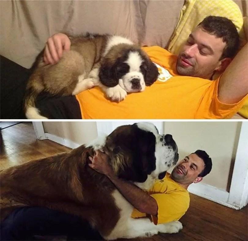 dogs growing up before after user submissions 94 594a872dc1400  700 - Fotos de cachorros adultos quando era filhote destaca-se nas redes sociais