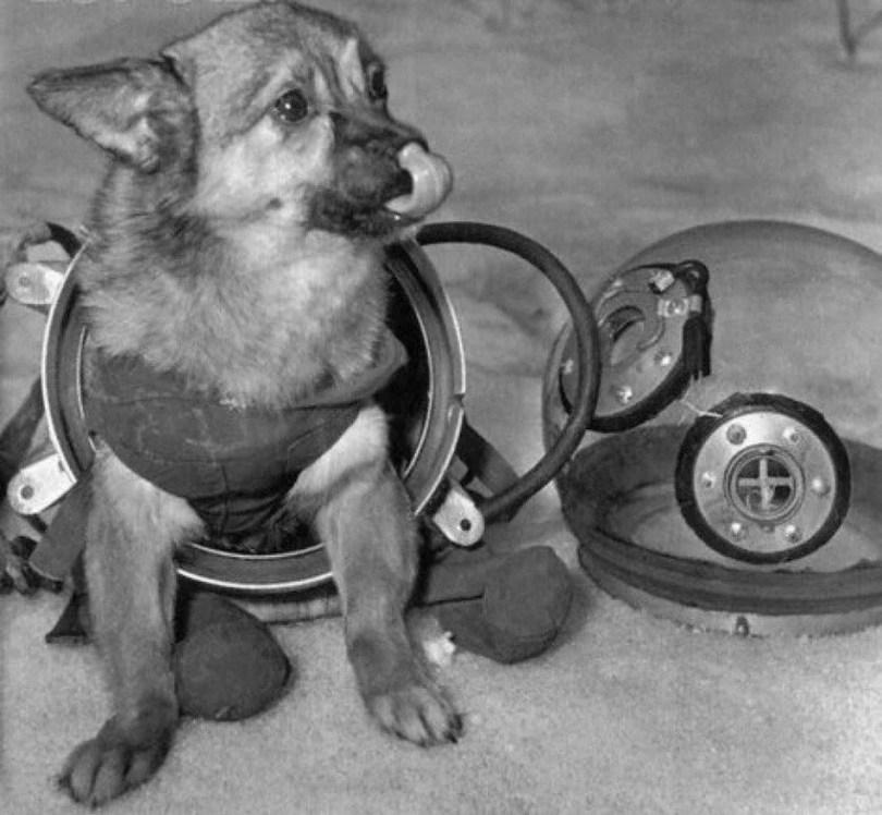 Fotos, Curiosidades, Comunicação, Jornalismo, Marketing, Propaganda, Mídia Interessante animais-no-espaço-soviet-space-dogs-4 Fatos Interessantes sobre as cadelinhas no espaço Curiosidades Universo  Cachorros no espaço