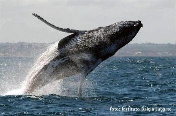 Fotos, Curiosidades, Comunicação, Jornalismo, Marketing, Propaganda, Mídia Interessante baleia-jubarte-saltando Baleia Jubarte é filmada durante salto espetacular Curiosidades Fotos e fatos  Baleia Jubarte salta