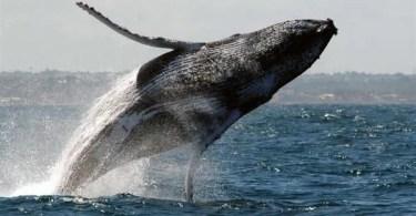 baleia jubarte saltando - Bater palmas com uma mão! Você consegue bater esse recorde?