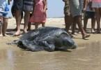 resgate tartaruga - Homem especializa-se em fotografar resgate de tartarugas