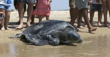resgate tartaruga - Fotos incríveis de Jason Peterson #Parte 8