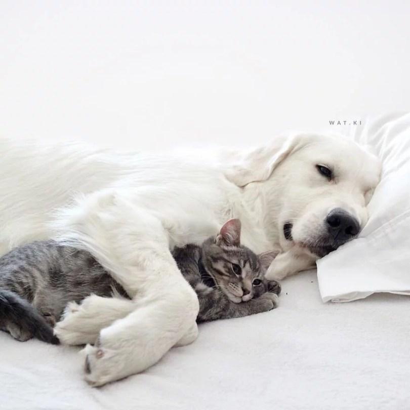 caes e gatos amigos8 - Book fotográfico de cães e gato melhores amigos