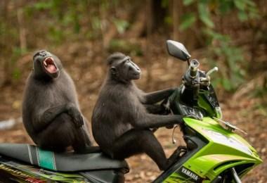 macacos na moto engraçado mundo animal - As fotografias profissionais mais engraçadas do mundo animal