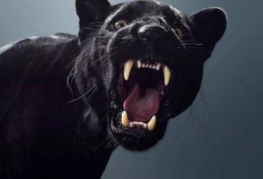 Este fotógrafo revelou os diferentes personagens de grandes felinos através de retratos impressionantes - Fotógrafo e grandes felinos através de retratos simplesmente de arrepiar