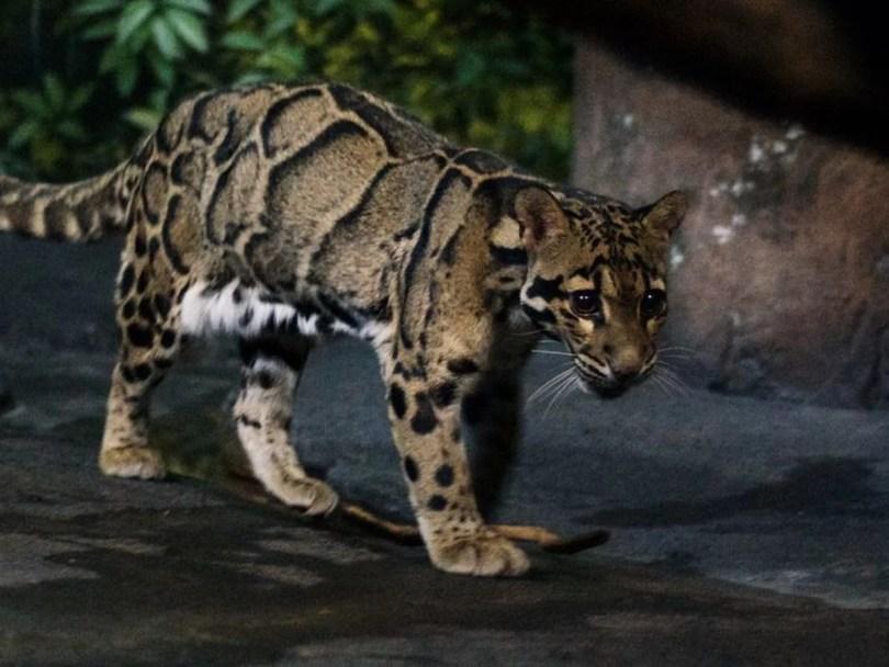 leopardo nebuloso - Em extinção: Zoológico de Miami mostra novos filhotes de Leopardo Nebuloso