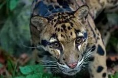 nublado leopardo - Em extinção: Zoológico de Miami mostra novos filhotes de Leopardo Nebuloso