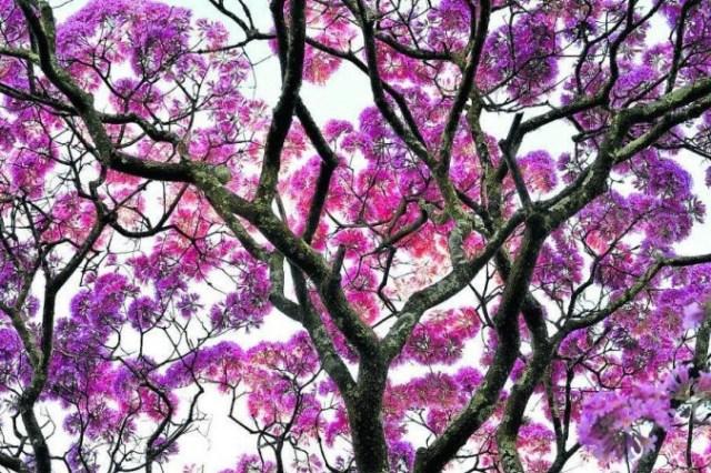 Começa temporada de ipês-roxos em Brasília - (crédito: Ed Alves/CB/D.A Press)