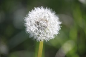 Dandelion blowball or clock