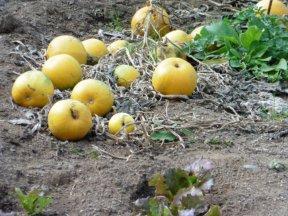 douch-pumpkins