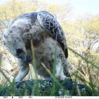 Another Crowned Eagle Shot