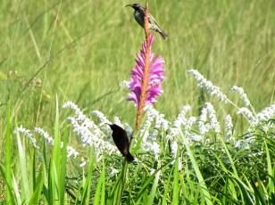Male and female Amethyst Sunbirds