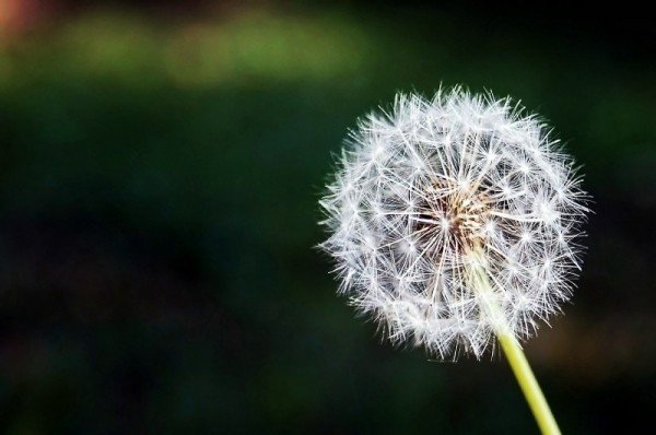 close-up-of-dandelion.jpg