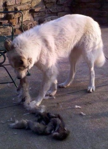 Libby Shredding the Remains of a Coyote