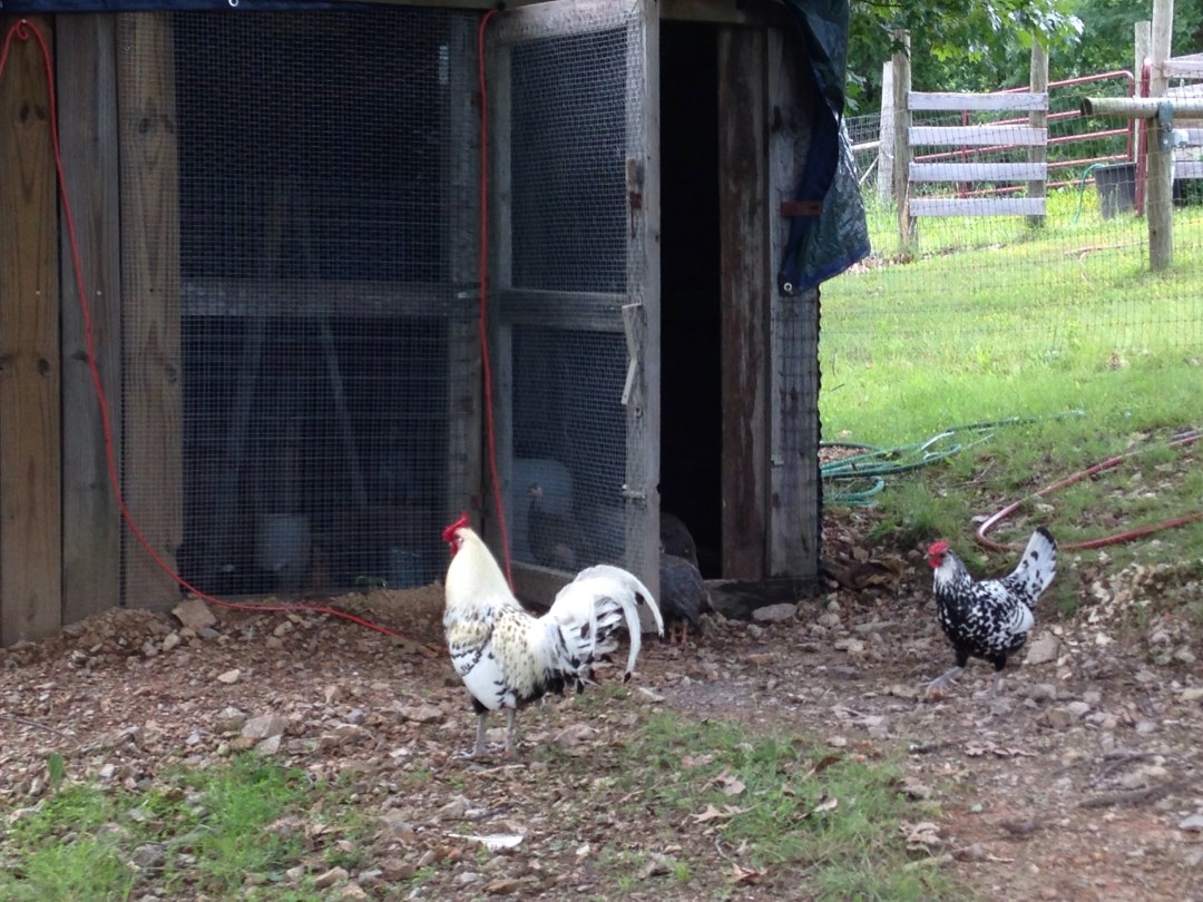 Older Chickens Checking Out the New Brood