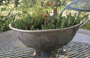 Colander Planted with Succulents