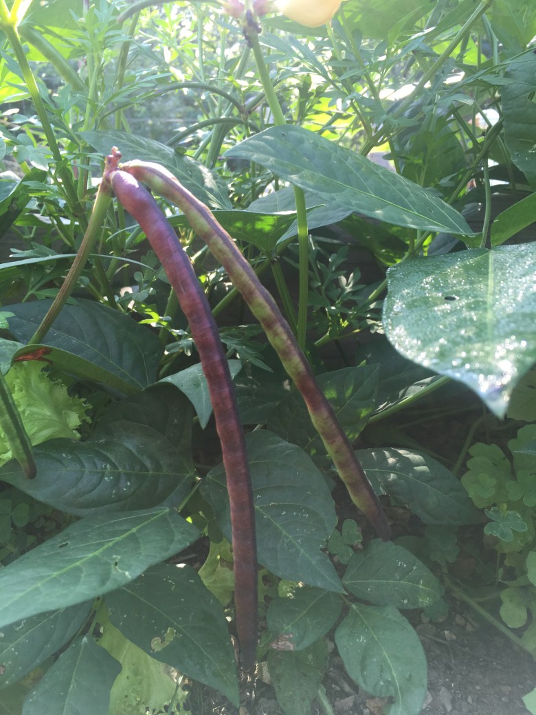 Purple Hull Peas by Mid-Life Blogger