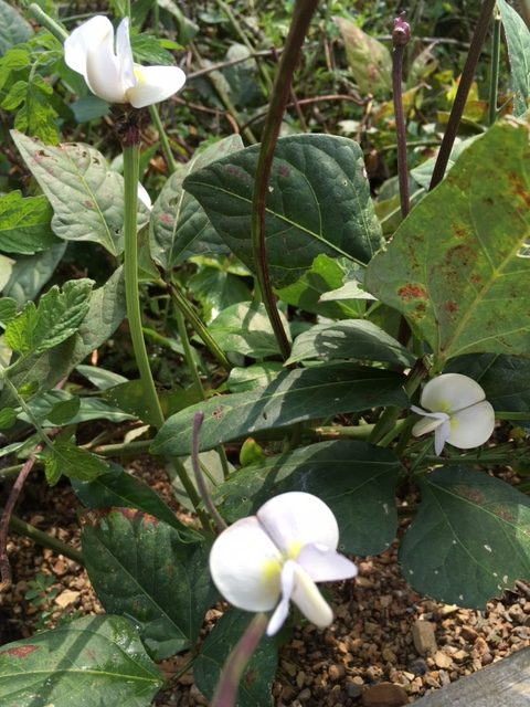 Purple Hull Pinkeye Cowpea Bloom