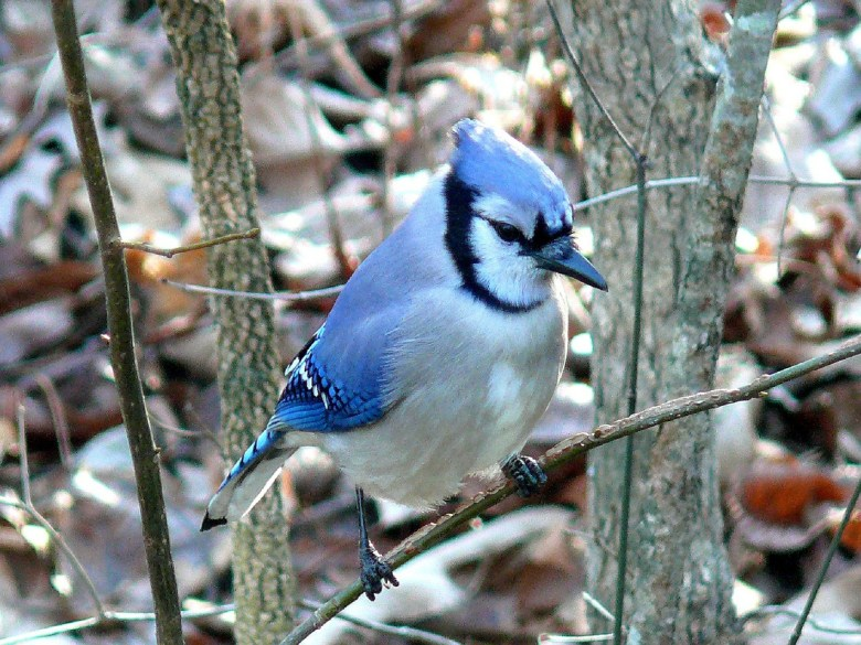 Little Birds Told Me - a flock of Blue Jays relayed a message