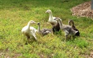 Baby birds. Ducklings, goslings, chicks