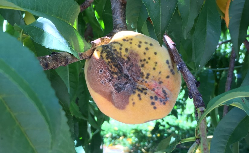 Brown Rot is the Pits