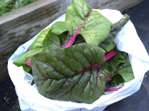 Swiss Chard ~ Stained Glass of the Garden